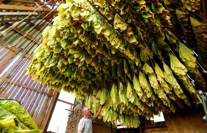 Табачная ферма в Швейцарии.