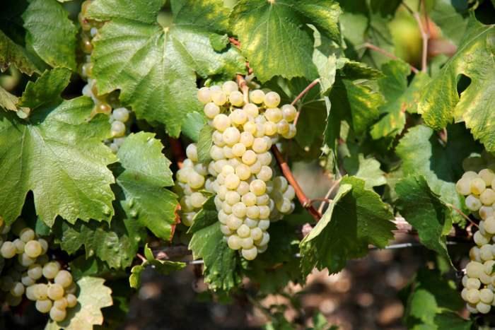 Франция виноградники.