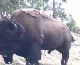 бизон напал