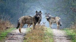 дикие волки