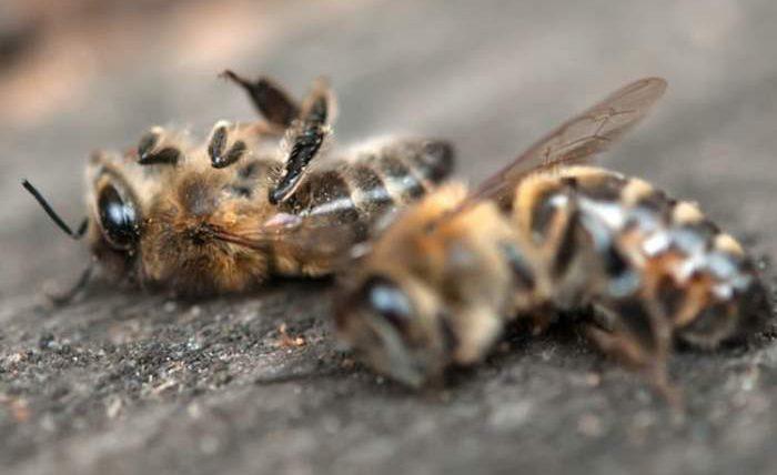 мертвые пчелы в Калифорнии