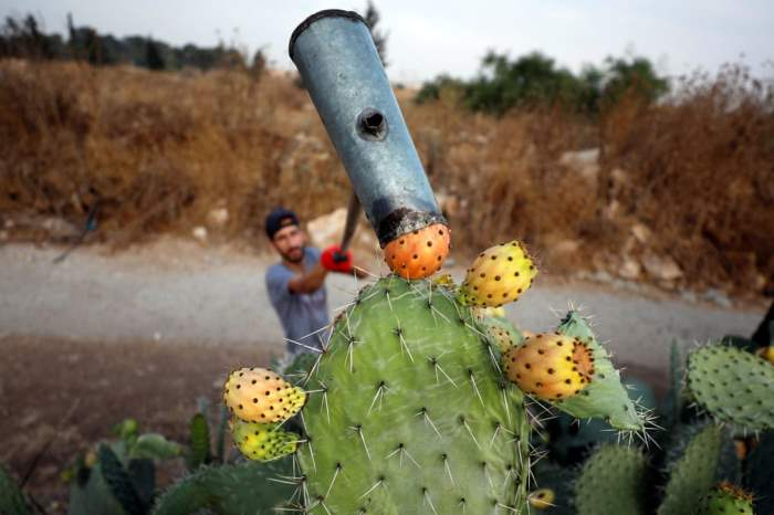 Палестинец собирает опунции