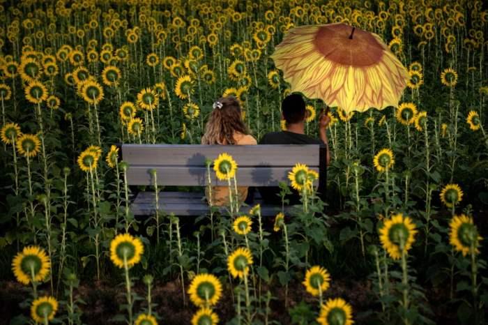 Пара сидит среди подсолнухов