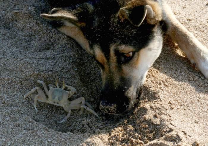 Собака смотрит на краба