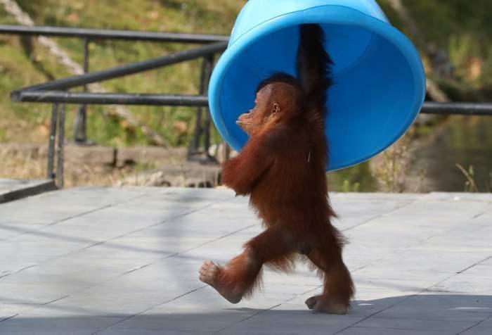 Трехлетний орангутан