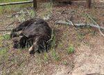 молния убила медведя