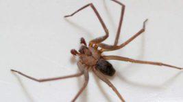паук отшельник