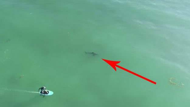 серфер акула