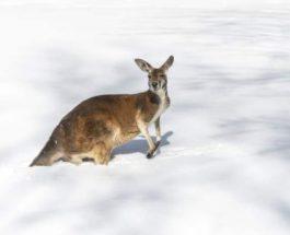 снег австралия кенгуру