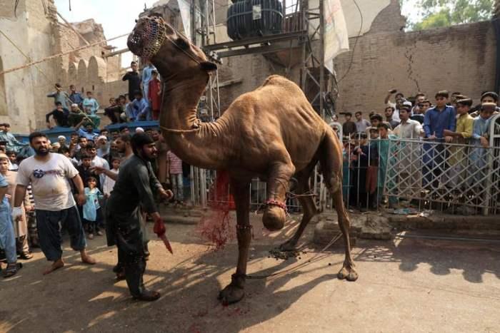 убивают верблюда
