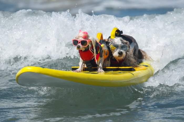Две собаки вместе едут на волне