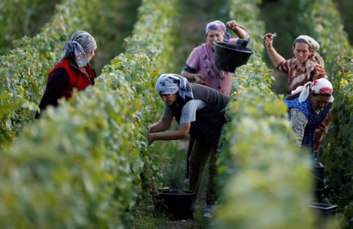 Рабочие собирают виноград