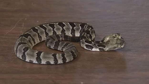 двухглавая змея