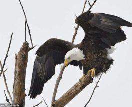 орел эфиопия