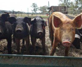 свиньи китай