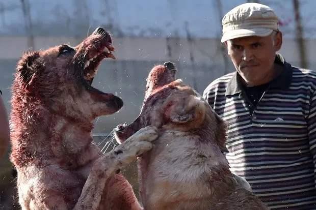 Кыргызские собачьи бои