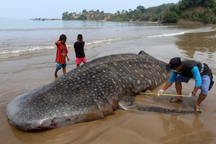Офицер измеряет тушу китовой акулы