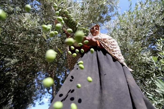 Палестинская женщина сортирует свежесобранные оливки