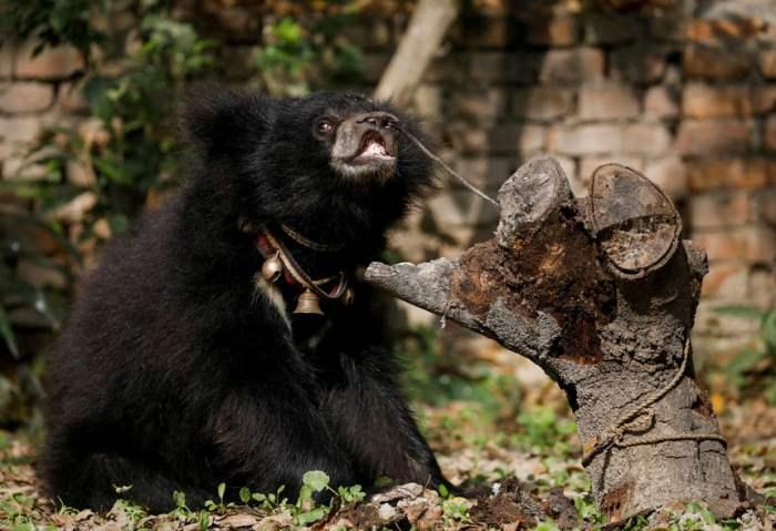 Привязанный медведь