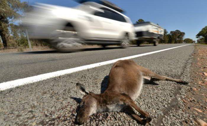 кенгуру австралия