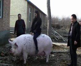 китай свиньи