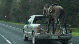 лошадь в пикапе
