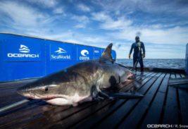 5-метровая самка акулы