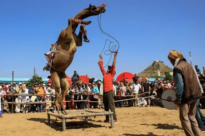 Верблюд в «танцевальном конкурсе»