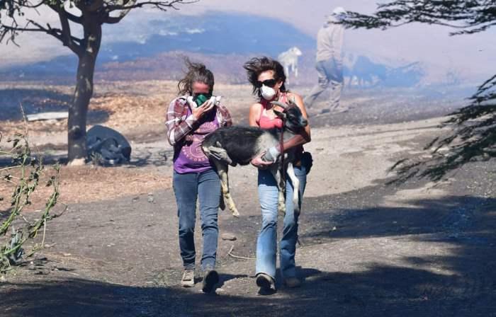 Жители помогают спасти козу