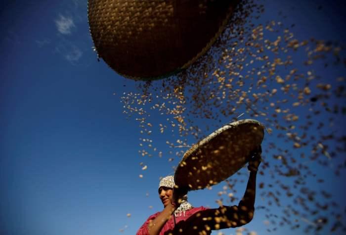 Фермер собирает рис в поле