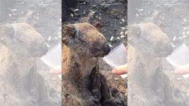 коала австралия