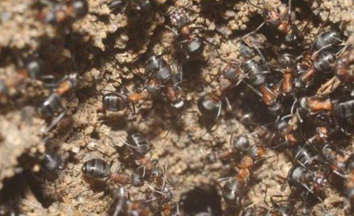 муравьи каннибалы