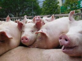 чума свине