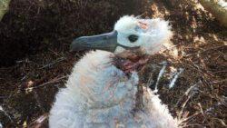 Мыши нападают на альбатросов в гнезде и съедают живьем (ФОТО)