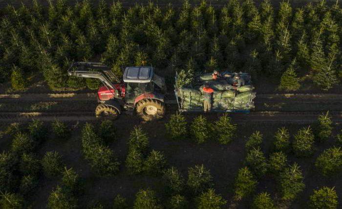 Рабочие загружают елки в Кент