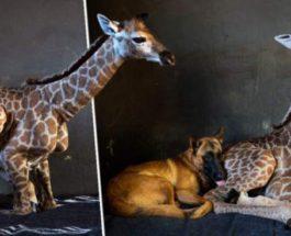 жираф и собака