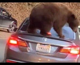 медведь на авто