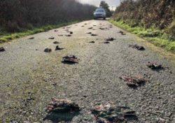 Стая птиц упала замертво с неба в Уэльсе