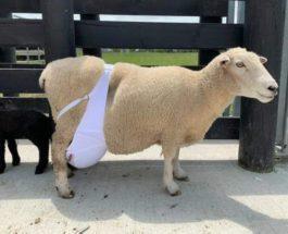 овца бюстгальтер