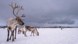 Глобальное потепление грозит северным оленям в Швеции