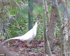 фазан-альбинос