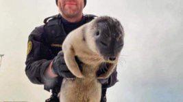 Арктический тюлень