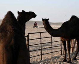 Байкер проезжает мимо верблюдов