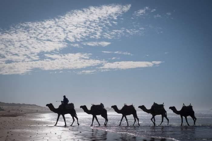 Верблюдов выгуливают