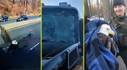 Орел пережил столкновение с лобовым стеклом грузовика