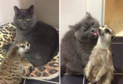 Сурикат и кошка стали друзьями и покорили всех пользователей в Сети (ФОТО)