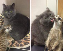 Сурикат и кошка