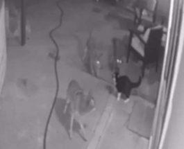 койоты и кот