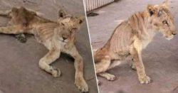 Сильно истощенные львы умирают от голода в зоопарке в Судане