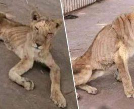 львы судан